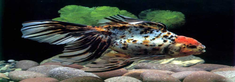 Aquarium milky carp fish - photo#16